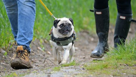 A white pug being led by his owner along a muddy path.