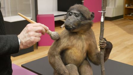 Themonkey, nicknamed Rafiki, being dusted off before it gets moved into the 'Victorian Museum' section