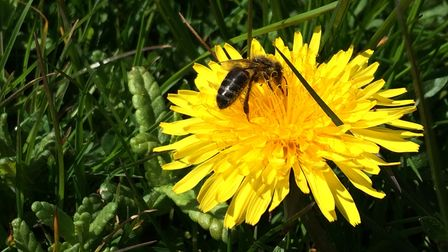 Undated handout photo issued by Trevor Dines/Plantlife showing a honeybee on a dandelion. Plantlife,