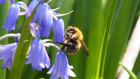 Bees and bluebells on Wanstead Flats. Picture: WansteadFlatsWomblE7