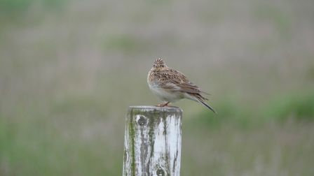 The skylark is one of the iconic birds of Wanstead Flats, it nests all year round. Picture: Barry Ch