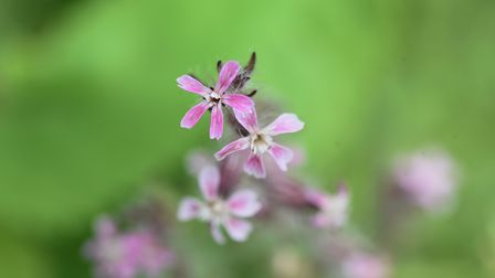 Small-flowered catchfly flowers. Caryophyllaceae annual grass.