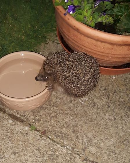 Karen Morizzo sent in this photograph of her rescue hedgehog called Toothless