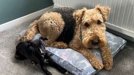 This is Taffy the Airedale Terrier, who refuses to share his bed, withWinnie the Whippet.