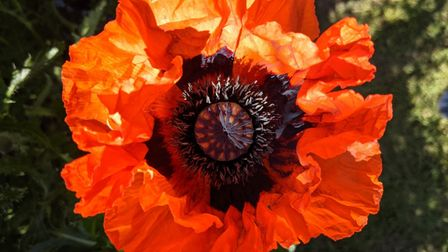 Robert Winter sent us this image of a plant in his Huntingdon garden.