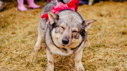 A dog at Hertfordshire music festival Standon Calling 2019.