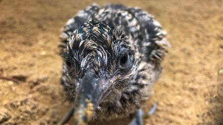 chick showing its inquisitive nature at 17 days old
