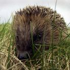 Embargoed to 0001 Tuesday April 28 File photo dated 07/03/03 of a hedgehog, as a fifth of people nev