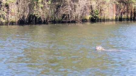 Another seal has been spotted in the River Wensum in Norwich City Centre.