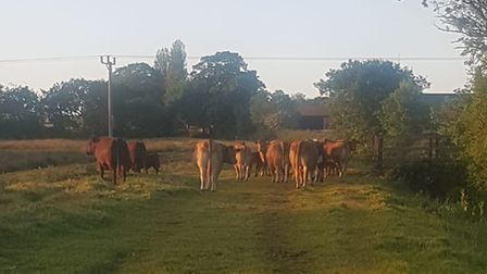 A herd of cows on a country path off Common Road in Hemsby in June 2020.
