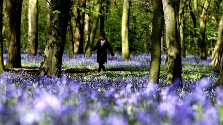 Bluebell woods in Wanstead Park