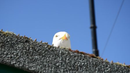 A seagull peers down from a roof in St Ives