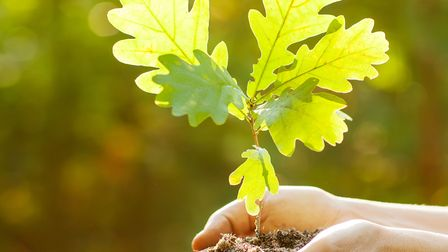 Oak sapling in hands. The leaves of rays of sunlight.