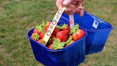Strawberry picking at PYO farms in Sussex