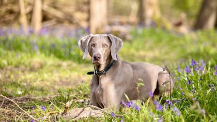 This is Sherlock, the Weimaraner, who is four years old.