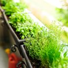 Herbs in a window box. Picture: Getty Images