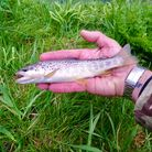 Damion Fryers beautifully marked wild Brown Trout from the River Otter