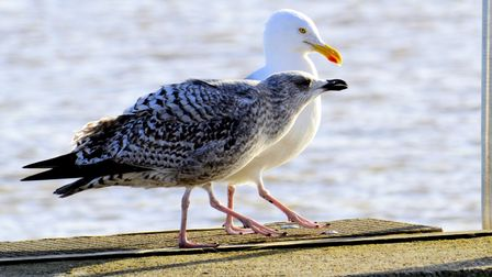 A young gull with its mother
