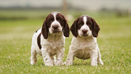 two springer puppies
