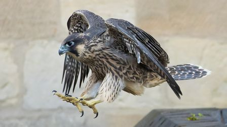The female juvenile peregrine hasfledged from hernest on the Norwich Cathedral spire.