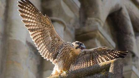 The first male juvenile peregrine to fledge from the nest on the Norwich Cathedral spire.