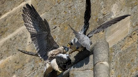 The female juvenile peregrine with its mother, known as GA.