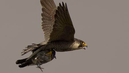 The adult peregrine female, known as GA, arrives home with dinner.