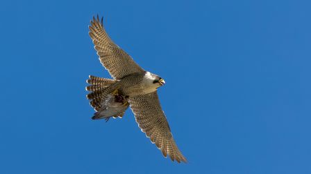 The adult peregrine female, known as GA.