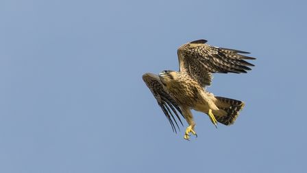 The second male juvenile peregrine to fledge from the nest on the Norwich Cathedral spire.