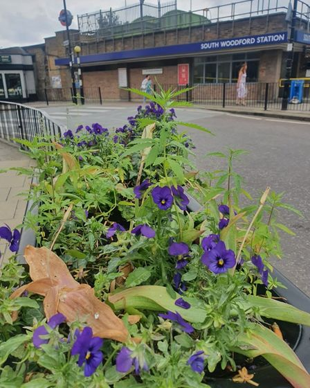 Marijuana plant in front of Woodford South station