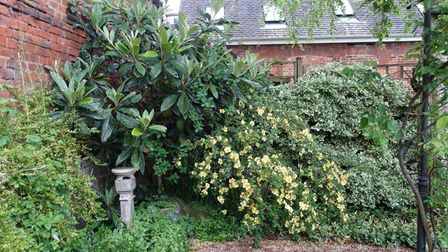 A loquat, raised from a pip, makes a spectacular show
