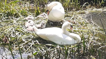 David Remmington's photo of a family of swans on the River Ouse.