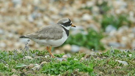 It's common tospot ringed plovers at this time of year