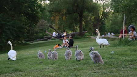 Hampstead's swan parents with their fluffy offspring