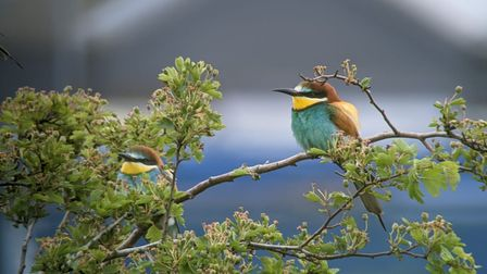 Bee-eaters in Great Yarmouth