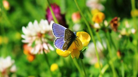 Common blue butterfly on its food plant in Heath meadows