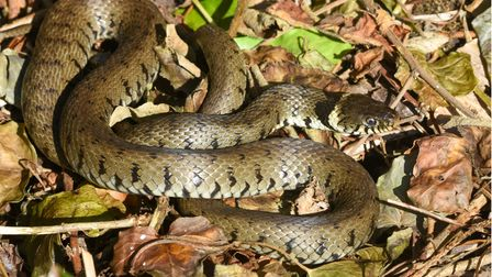 Grass snakes live in protected Heath areas