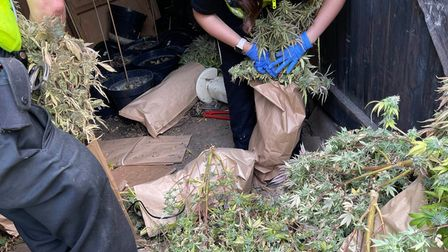 Officers bagging up cannabis plans