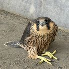 The Peregrines have returned to the BT tower at Adastral Park, Ipswich