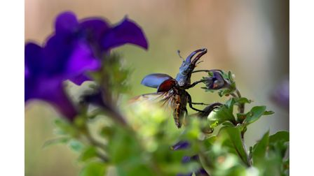 A stag beetle taking off