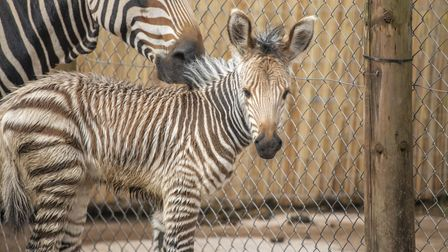 The female Hartmann's zebra was born to mother Taru and father Jabali on June 18 at Paignton Zoo