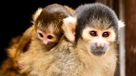 Two baby squirrel monkeys nicknamed teeny and tiny were bon in the same week at London Zoo