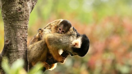 Visitors to the zoo's In With The Monkeys walk through may be able to spot the two new arrivals