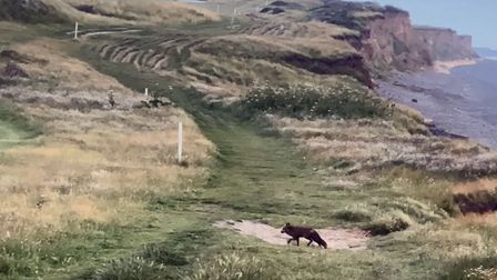 A rare black fox was spotted in Sheringham on Tuesday, June 29.