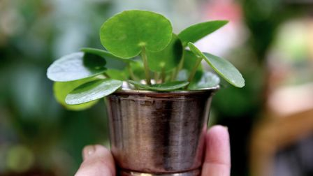 Start small, the Chinese Money Plant makes a pretty addition to your inside space
