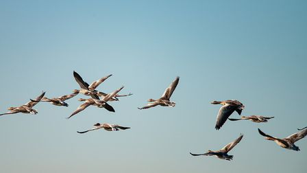 There have been a number of confirmed reports of avian influenza in wild birds including geese and s