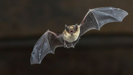 Pipistrelle bat (Pipistrellus pipistrellus) flying on wooden ceiling of house in darkness