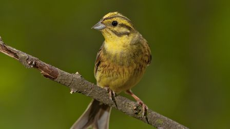 Yellowhammers are now of conservation concern, and one of the best ways to help them is provide addi