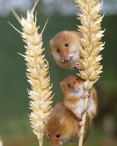 Harvest mice flourish on land managed for shooting. Credit: gwct