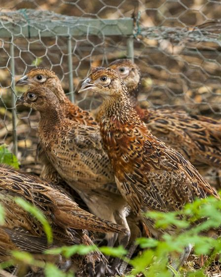 The paper does show that in and close to the release pens, pheasants CAN have a negative impact Cre